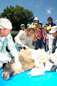 青い空の下3人がかりで刈られる羊