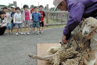 羊毛用に改良されたコリデール種