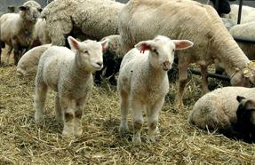 肉付きのいい25?30キロの選ばれたオスだけがミルクラムとして出荷される