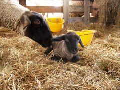 小岩井農場 羊の赤ちゃん