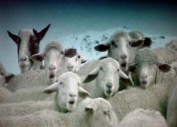 かみたい♪かみたい♪羊も噛みたい♪