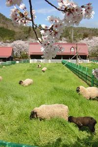 サクラの下でのんびりする羊