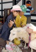 アフリカンサファリでひつじの毛刈り
