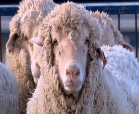 """人間15%+ヒツジ85%の""""羊人間""""が開発される"""