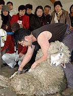 羊の毛刈り 秋刈り