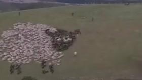 あるく羊の群れ