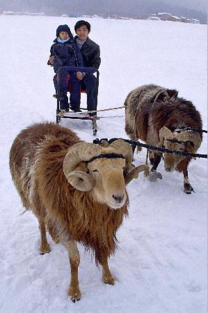 羊がそりを引き延ばす