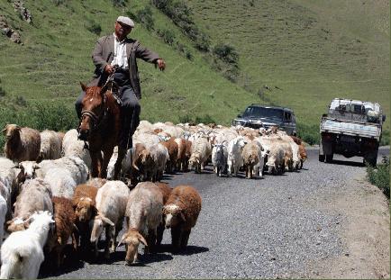 車は羊の群れの道を譲る