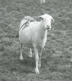 セントクロイ種の羊