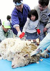 公園職員の手を借りながら羊の毛を刈る子どもg