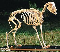 ヒツジの全身骨格標本