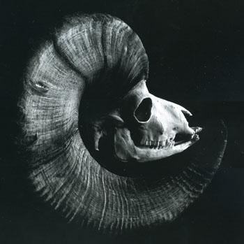 オオツノヒツジの頭蓋