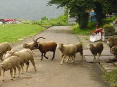 羊たちのお散歩