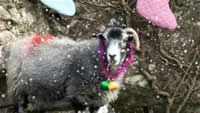 Baarmy Sheep Xmas