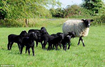 黒い仔羊の群れ