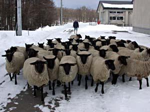 飼養頭数でも道内有数の道立畜産試験場。ヒツジ研究の草創期からの流れを受け継いでいる